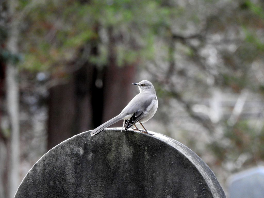 Mockingbird on gravestone